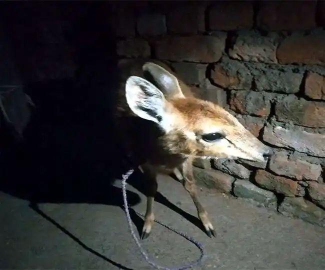 हिरण के बच्चे की ग्रामीण ने बचाई जान, वनविभाग ने की सराहना